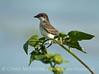 Eastern Kingbird, Nebraska (4)