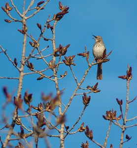 Brown Thrasher singing Nana's Galesburg IL IMG_5454
