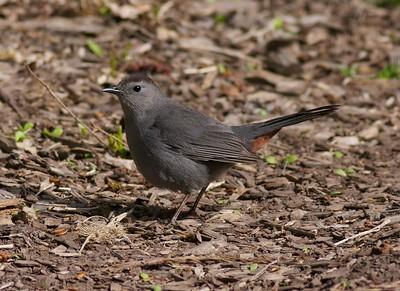 Gray Catbird Indian Pt Duluth MN IMG_0007261