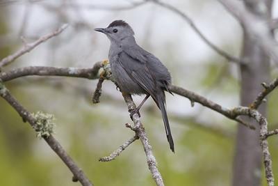 Gray Catbird Wisconsin Point Superior WI IMG_9019