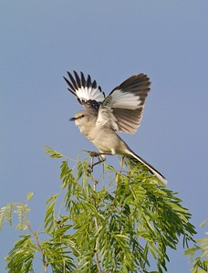 An interesting Mockingbird display; It would fly straight up from the top of the tree and drop right back down to the same spot [April; Sick Dog Ranch near Alice, Texas]