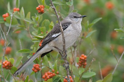 Northern Mockingbird in Negrito Tree[April; Krenmueller Farms, Lower Rio Grande Valley, Texas]