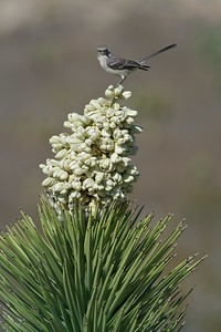 Northern Mockingbird gathers nest material on yucca [March; Palmdale, California]