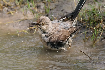Bathing Northern Mockingbird [April; Sick Dog Ranch near Alice, Texas]