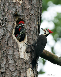 03-CS5593 Pileated Woodpecker
