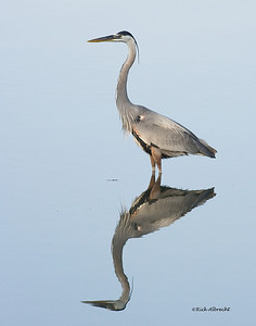 05-VQ5364 Great Blue Heron