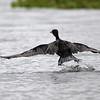 Cormorant, male