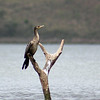 Cormorant female
