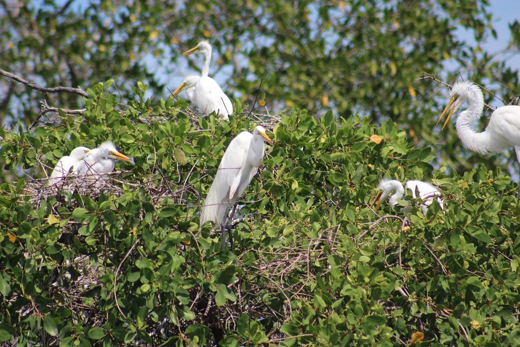 Great Egret Nests