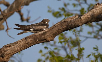Common Nighthawk near Interpretive Center Blue Mounds State Park Rock Co MN IMG_9957