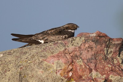 Common Nighthawk near Interpretive Center Blue Mounds State Park Rock Co MN IMG_9935