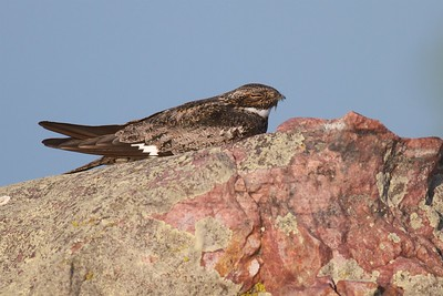 Common Nighthawk near Interpretive Center Blue Mounds State Park Rock Co MN IMG_9935 (1)