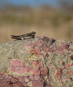Common Nighthawk near Interpretive Center Blue Mounds State Park Rock Co MN IMG_9920