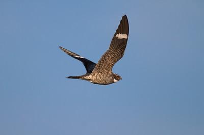 Common Nighthawk near Interpretive Center Blue Mounds State Park Rock Co MN IMG_9940