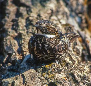 Common Nighthawk Magnetic Rock Trail Gunflint Trail Cook County MN SLIDE SCAN BIRDS-61