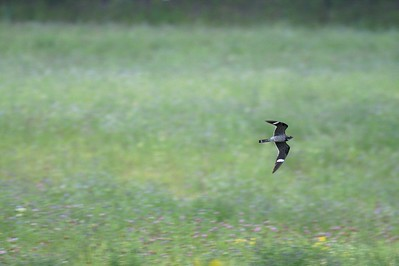 Every late-August thousands of Common Nighthawks migrate down the shore of Lake Superior but rarely do they feed this close to the ground. Dense fog was the cause of this [August 27; Carlton County, Minnesota]