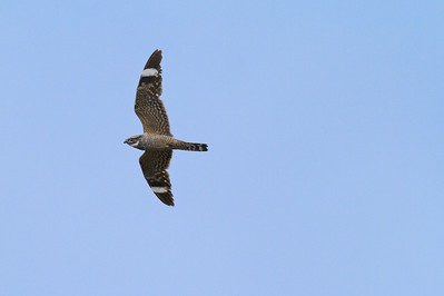 The white underwing stripes of the Common Nighthawk are visible at great distances  [June; Sick Dog Ranch near Alice, Texas]