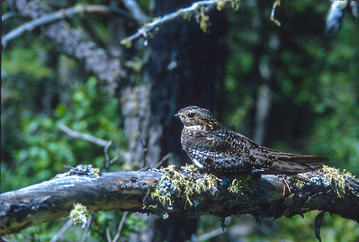Common Nighthawk Magnetic Rock Trail Gunflint Trail Cook County MN SLIDE SCAN BIRDS-40