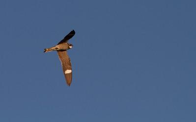Common Nighthawk Big Stone National Wildlife Refuge NWR Auto Tour Minnesota River Valley trip July 23-24 2019 IMG_8634