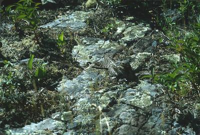 Common Nighthawk Magnetic Rock Trail Gunflint Trail Cook County MN SLIDE SCAN BIRDS-43