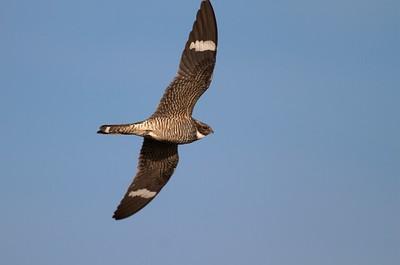 Common Nighthawk near Interpretive Center Blue Mounds State Park Rock Co MN IMG_9938