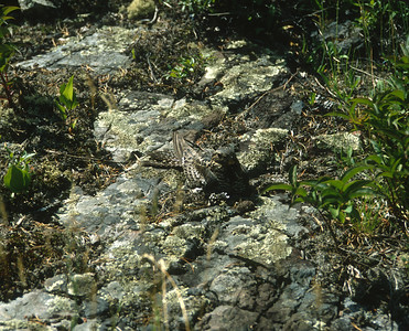 Common Nighthawk Magnetic Rock Trail Gunflint Trail Cook County MN SLIDE SCAN BIRDS-38