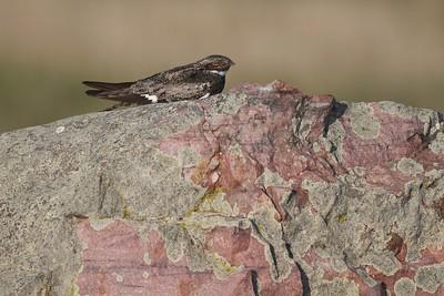 Common Nighthawk near Interpretive Center Blue Mounds State Park Rock Co MN IMG_9931