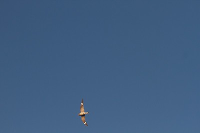 Common Nighthawk Wrenshall MN IMG_3727