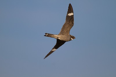 Common Nighthawk near Interpretive Center Blue Mounds State Park Rock Co MN IMG_9939