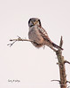 Northern hawk owl, Bristol, Maine Feb 09