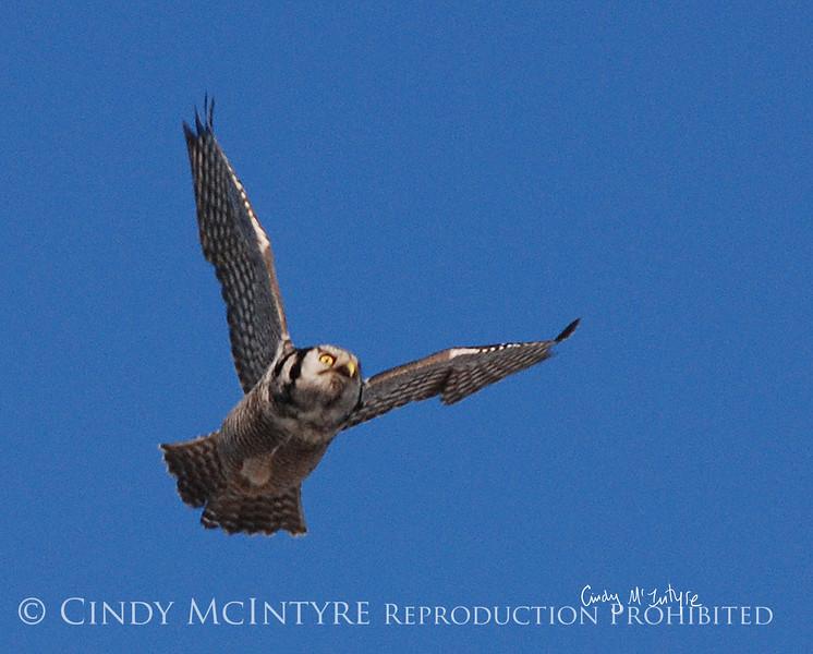 Northern Hawk Owl in Flight, Bristol ME January 09