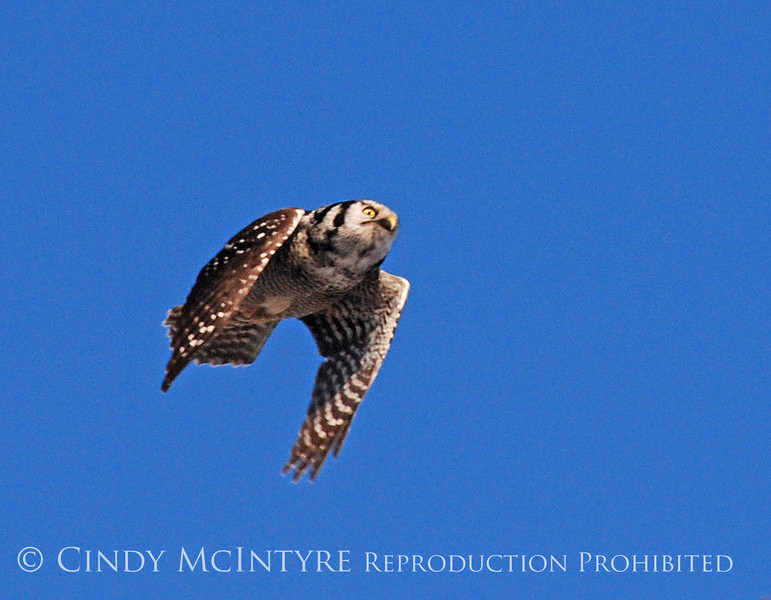 northern hawk owl in flight, Bristol Maine January 2009