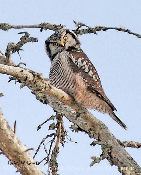 northern hawk owl with quizzical expression, Bristol, Maine Feb 09