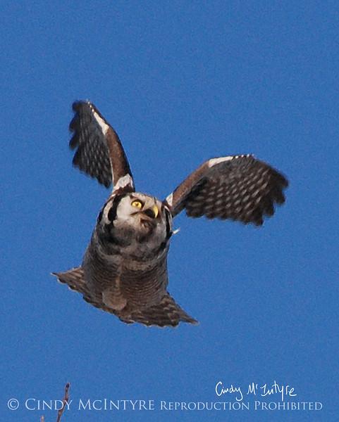 Hawk Owl in flight, Bristol ME Jan 09 with digital watercolor effect