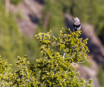 Clark's Nutcracker above Yellowstone Picnic Yellowstone National Park WY IMG_6567