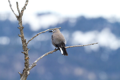 Clark's Nutcracker above Yellowstone Picnic Yellowstone National Park WY IMG_6525