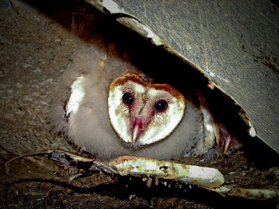 BABY BARN OWL  PEERING FROM UNDER A FLOOR BOARD EVERGLADES,   FLORIDA    2006