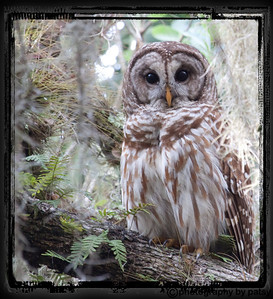 my first BARRED OWL