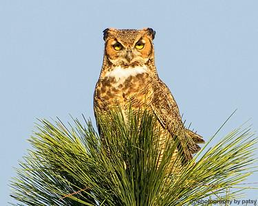 LWR GREAT HORNED OWL 2
