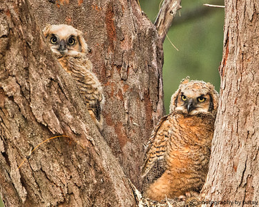 GREAT HORNED OWL BABIES 7