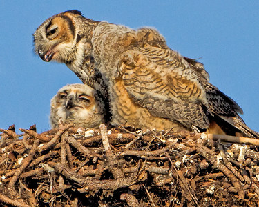 MOM and BABE GREAT HORNED OWLS