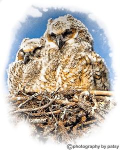 BABY PORTRAIT GREAT HORNED OWL SIBLINGS 2011
