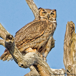 THIS IS MOM - GREAT HORNED OWL
