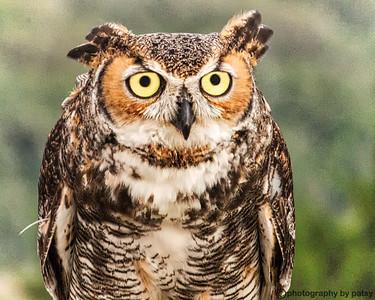 GREAT HORNED OWL - PORTRAIT