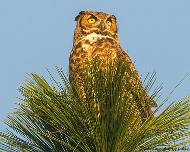 LWR GREAT HORNED OWL