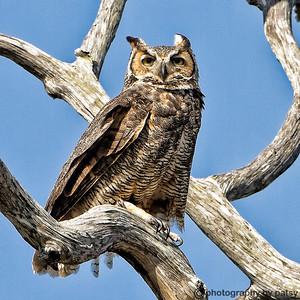 MOM - GREAT HORNED OWL