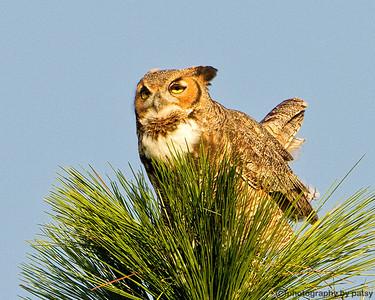 LWR GREAT HORNED OWL 3