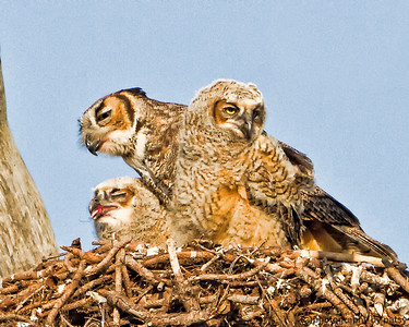 TWO BABIES and MOM GREAT HORNED OWL FAMILY