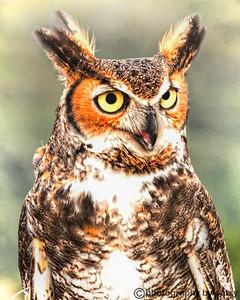 GREAT HORNED OWL PORTRAIT 2