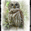 OWLS : 1 gallery with 35 photos
